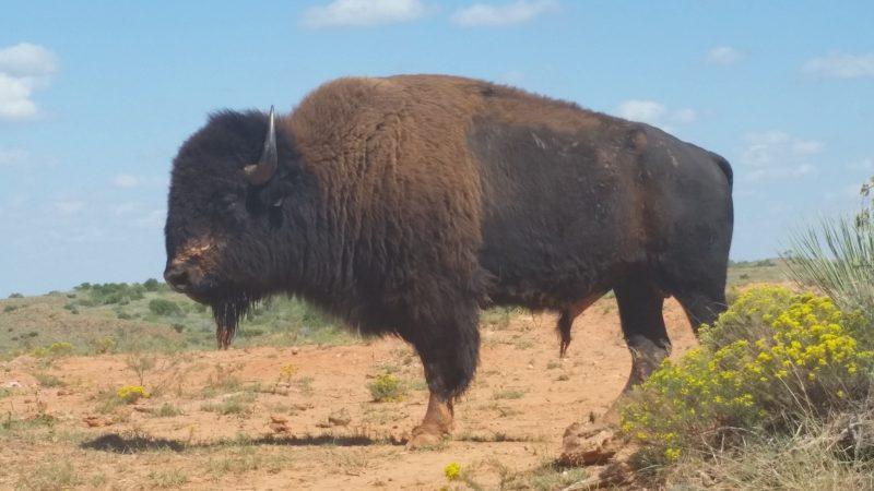 Alpha Male Buffalo. Caprock Canyon State Park, Texas