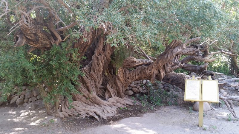 A very large, knotted, ancient olive tree in Baja California, Mexico.