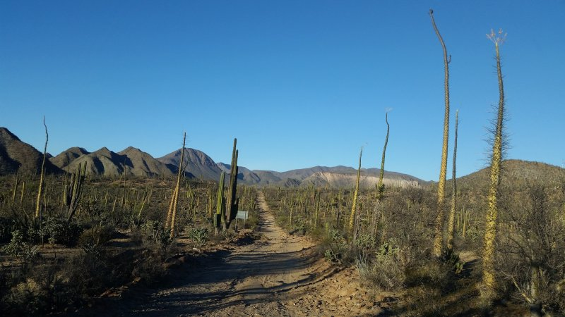 A dirt road in Baja California with boojum tress and mountains in the background against a clear blue sky.