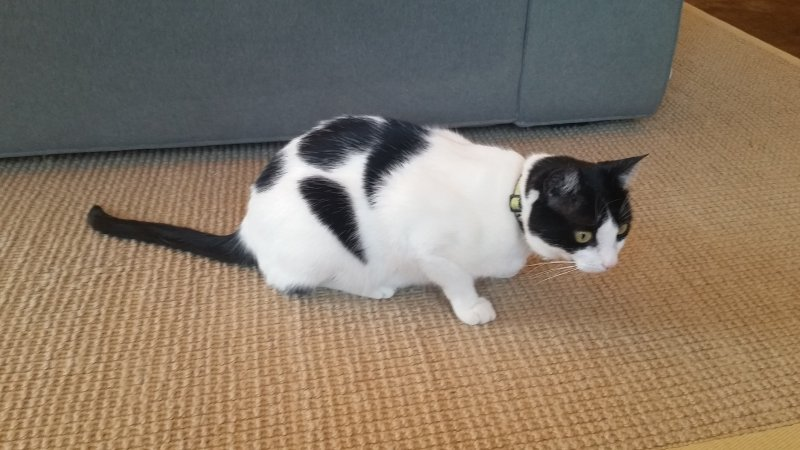 A white and black cat sitting on a rug in front of a sofa.