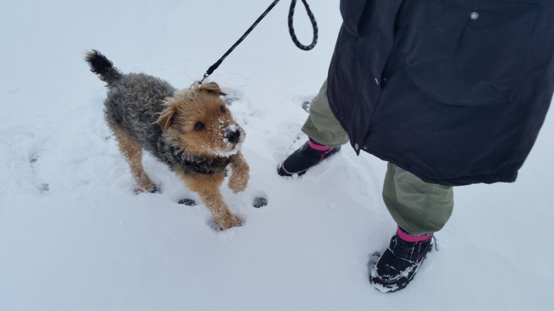 A terrier with snow on his nose as he walks with a woman through snow.