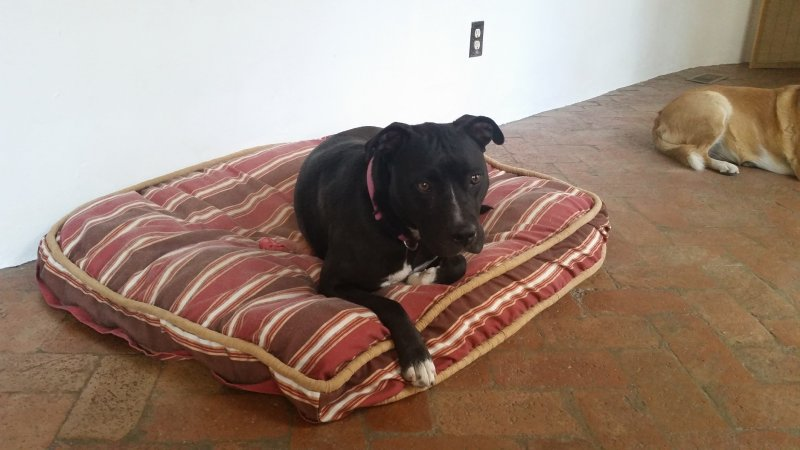 A black pitbull sitting on a stripped pattern dog bed.
