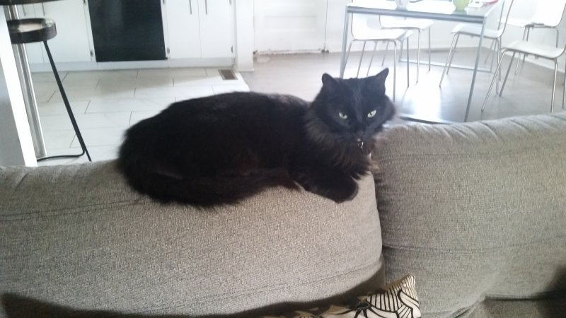 fluffy black cat sitting on back of a grey sofa.