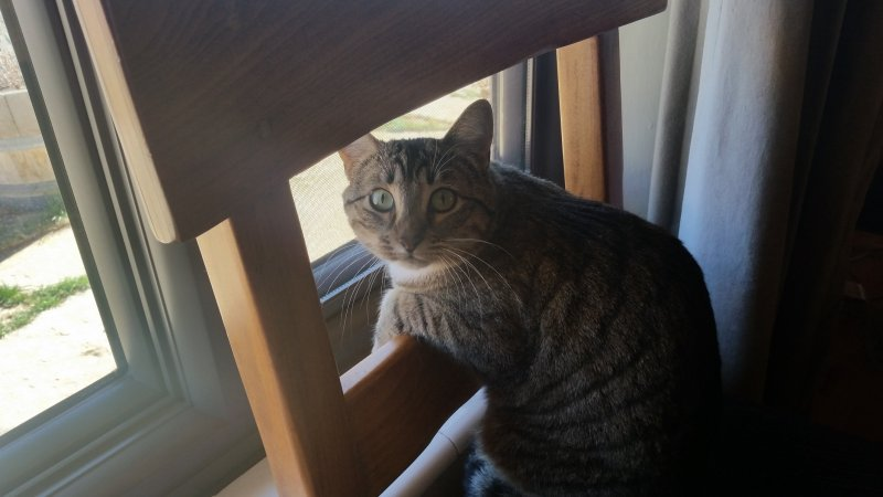 A tabby cat leaning over the back of a chair looking at the camera.