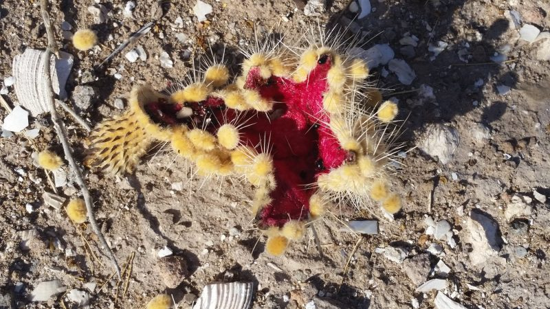 Dark Pink cactus fruit with cactus needles as seen in a desert on the Baja Peninsula in Mexico.