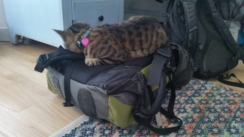 A tabby cat sleeping on top of a green backpack belonging to a house-sitter.