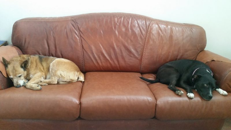 A brown dog and black dog, each sleeping on either ends of a brown leather couch.