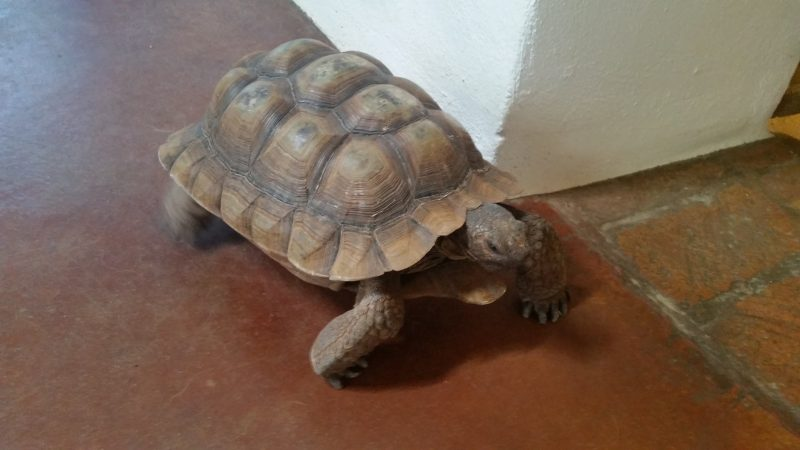 A desert tortoise on a terra cotta-coloured floor, one of the more odd pets to take care of while house-sitting.