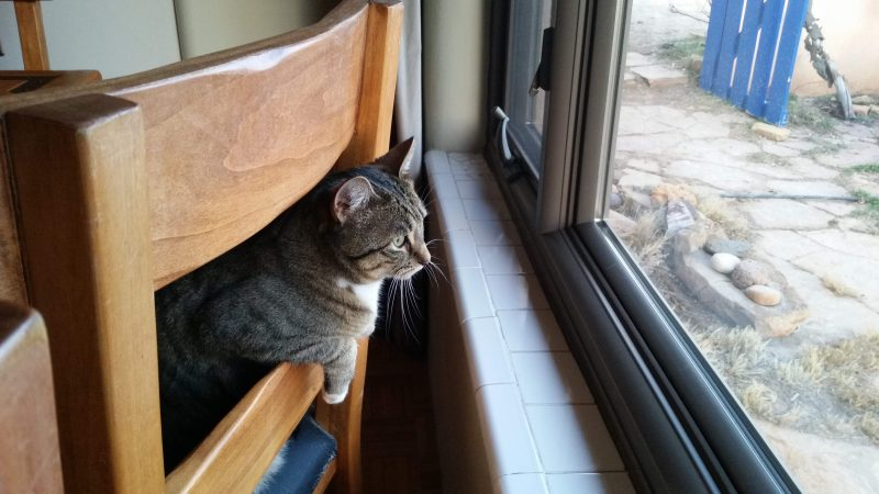A Tabby cat leaning over the back of chair and staring out a window.