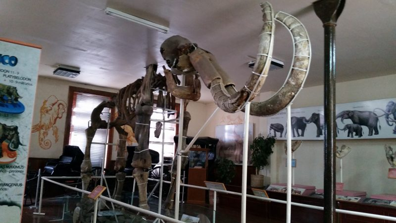 A mammoth skeleton in a museum in Chihuahua, Mexico.