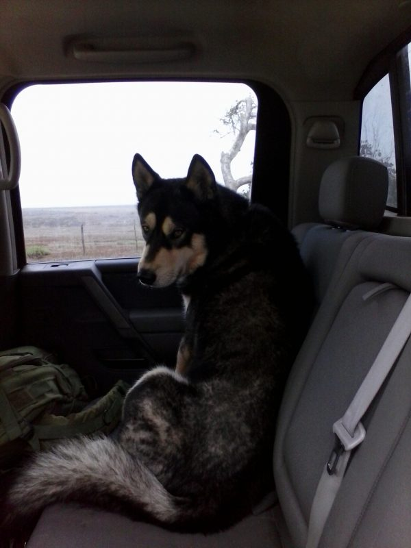 A husky dog in the front seat of a car.
