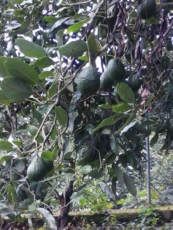 Avocados growing on a tree in Michoacan state in Mexico.
