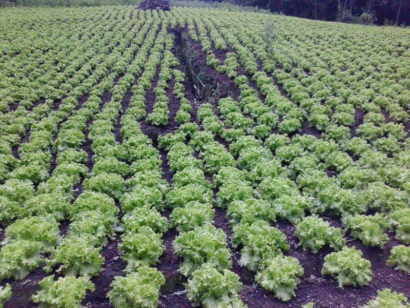 Rows of green lettuce in a field.