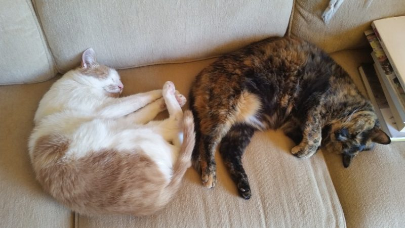 A brown and white cat and a tortoise shell cat snuggled up together on a beige couch.