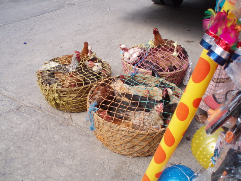 Three baskets of live chickens with netting over them.